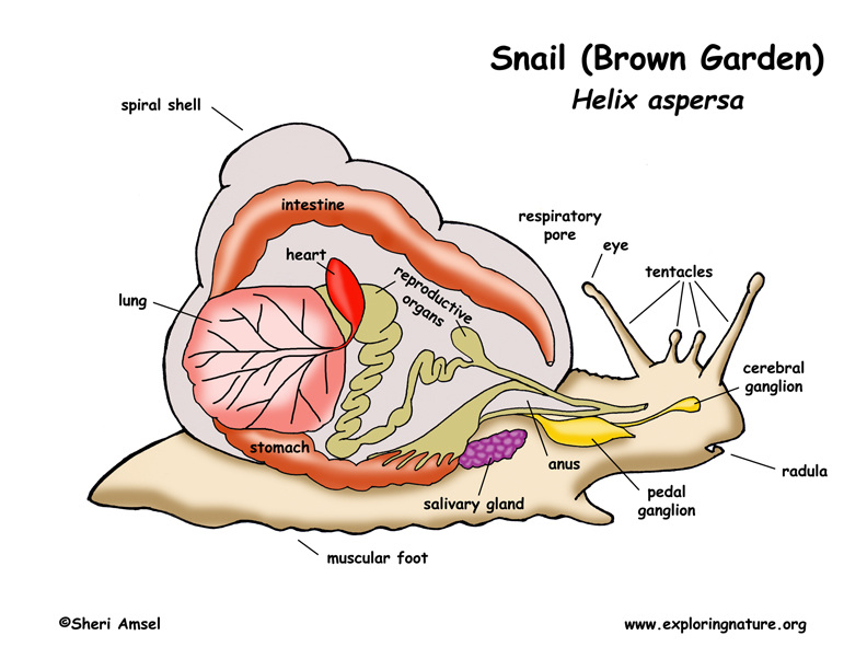 Respiratory System The Garden Snail Resource